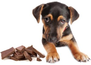 Amount Of Chocolate A Dog Can Eat