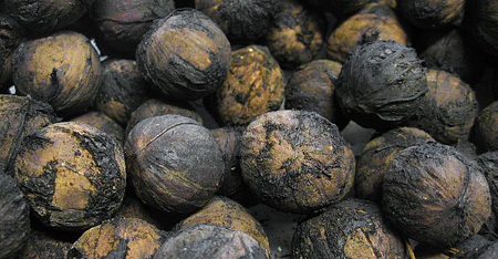 Can Dogs Eat Walnuts? - Can Dogs Eat This