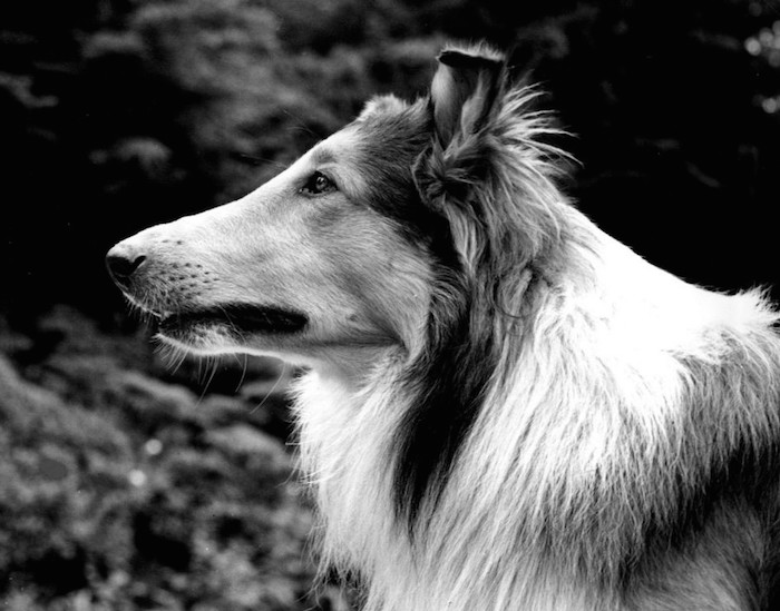 Pal_as_Lassie_1942