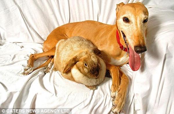 Jasmine - The 'Surrogate Mom' Animal Shelter Greyhound 3