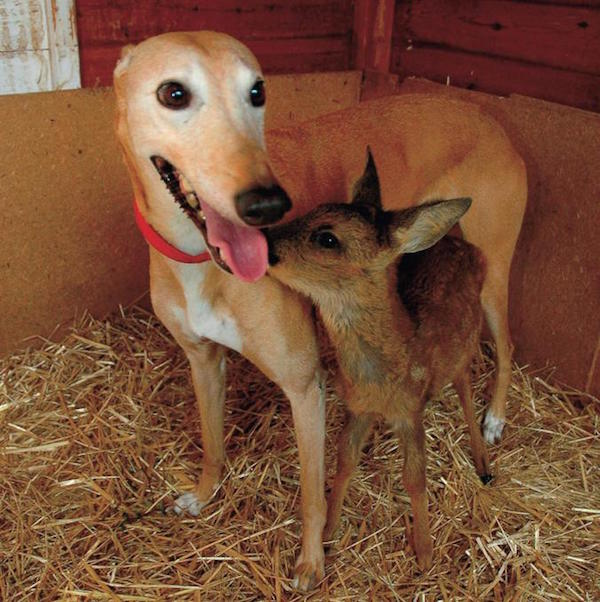 Jasmine - The 'Surrogate Mom' Animal Shelter Greyhound