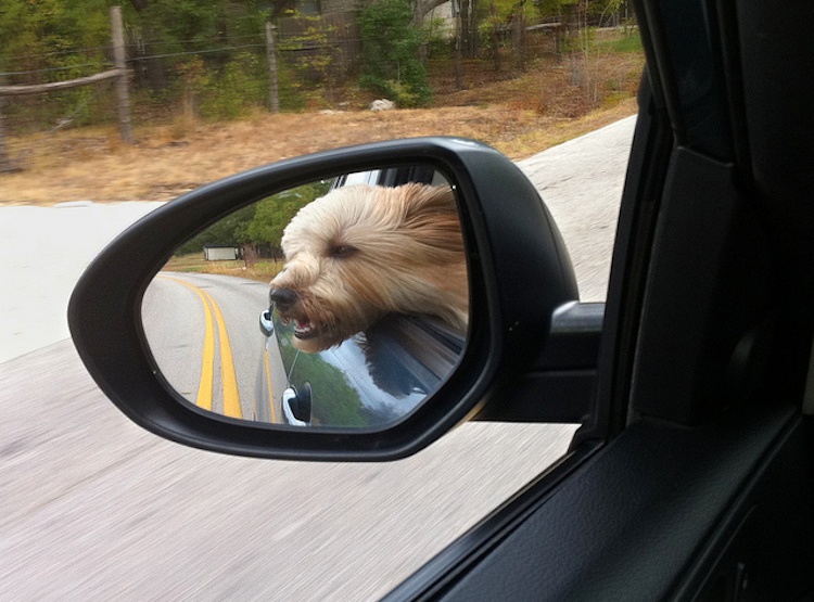 31 Dogs Loving The Wind In Their Hair 19