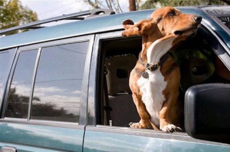 31 Dogs Loving The Wind In Their Hair 29