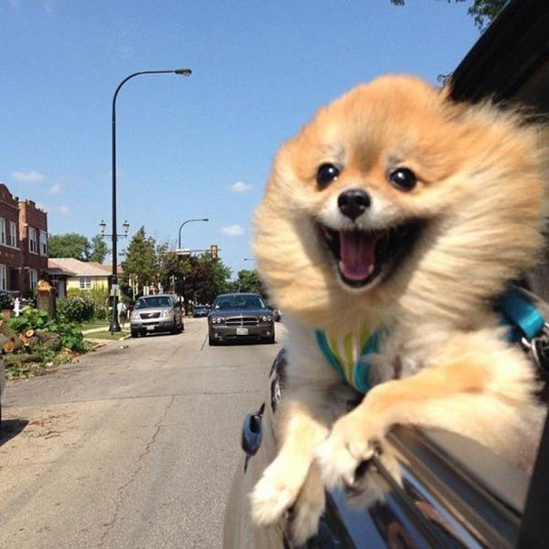 31 Dogs Loving The Wind In Their Hair 31