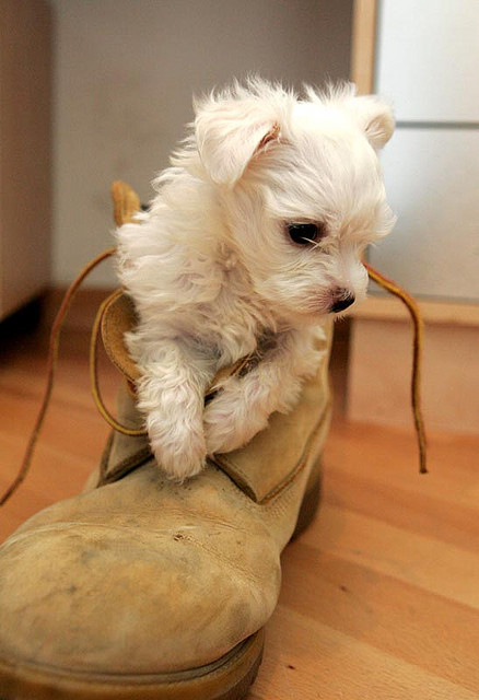 22 Of The Most Adorable Puppies In Shoes 2