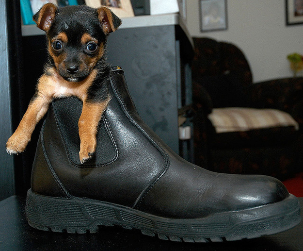 puppy dog in shoes