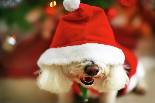 cute dog in xmas outfit