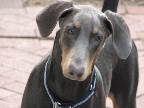 The Doberman Pinscher - unfairly considered an aggressive breed
