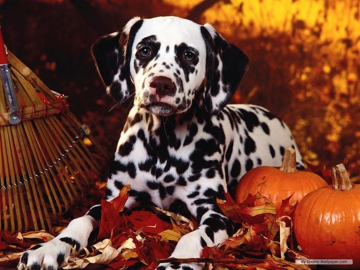 Dalmation-thanksgiving dog