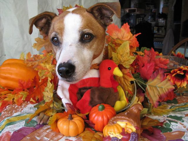 thanksgiving doggies