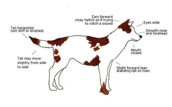 Signs of an alert dog