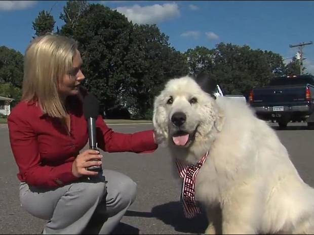 7 Year Old Great Pyrenees Called Duke Becomes Mayor of Minnesota Town