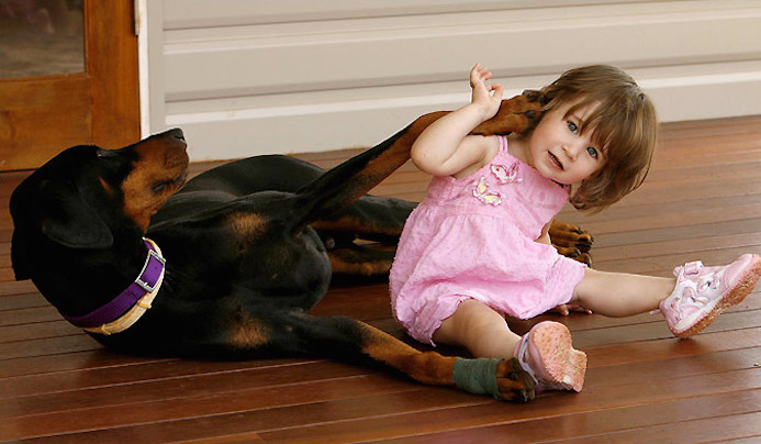 A Doberman Pincher named Khan saves baby from deadly snake attack 5