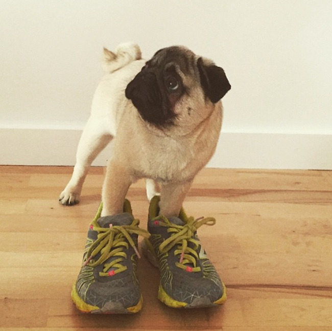 pug-in-shoes very cute