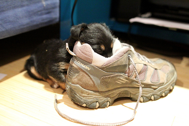 puppies in shoes