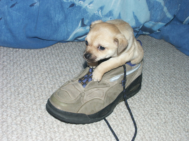 puppy in a shoe sneakers