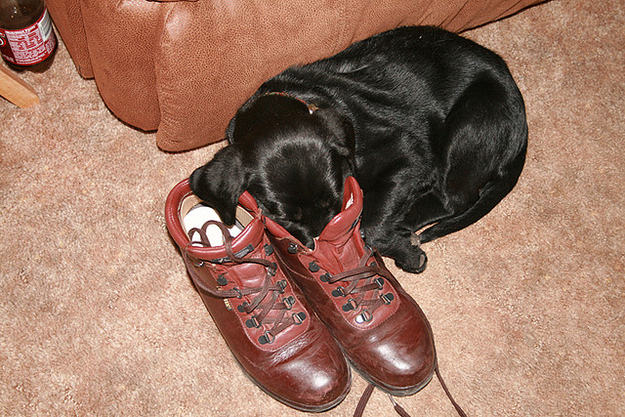 puppy in shoes 3