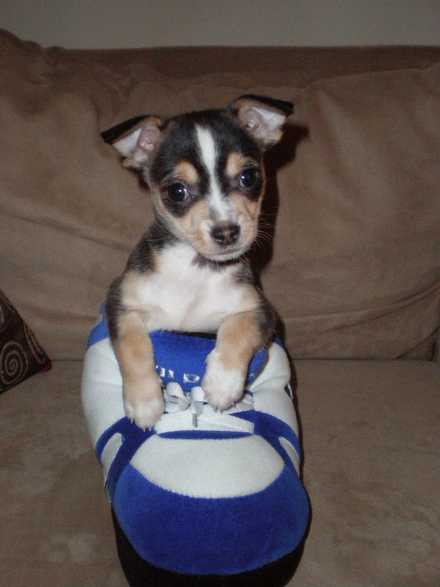 puppy in the slippers